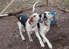 Smyth Pups at home-3918
