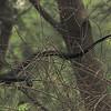 Texas indigo snake (Drymarchon melanurus erebennus) Santa Ana NWR, TX