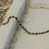 Texas Coral Snake (Micrurus tener) Santa Ana NWR, TX