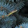 Common Garter Snake (Thamnophis sirtalis) Boothbay ME