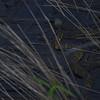 Water Moccasin (Agkistrodon piscivorus) Cape Hatteras LIghthouse Park NC
