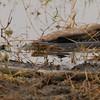 Redbelly Water Snake (Nerodia erythrogaster erythrogaster) Raymondville TX