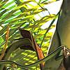 Blunt-headed Treesnake (Uromacer catesbyi) Sosua, Dominican Republic