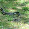 Garter Snake (Thamnophis sirtalis) having just eaten, Chippewa Nature Center, Midland MI