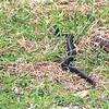 Texas indigo snake (Drymarchon melanurus erebennus) Raymondville TX