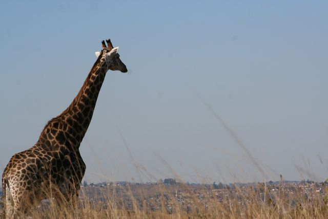 A girafe keeps an eye on the nearby town.
