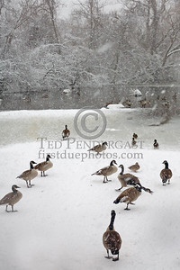 Ducks & Geese, Blair Pond -- Images shot in and around Belmont Massachusetts during a snowstorm that occurred on Sunday, December 21, 2008