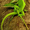 "<a href=""http://xenogere.com/tag/green-anole-anolis-carolinensis/"" title=""Photos and videos tagged 'Green anole (Anolis carolinensis)'"">Mating pair of green anoles (a.k.a. Carolina anoles; Anolis carolinensis)</a>"