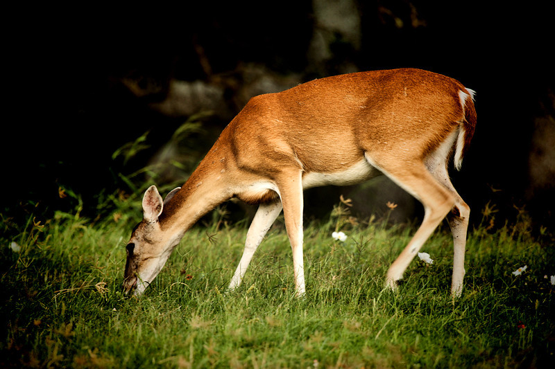 "<a href=""http://xenogere.com/tag/white-tailed-deer-odocoileus-virginianus/"" title=""Photos and videos tagged 'white-tailed deer (Odocoileus virginianus)'"">White-tailed deer (Odocoileus virginianus)</a>"