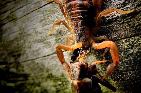 A Striped bark scorpion (Centruroides vittatus) eating a cricket--which has been decapitated