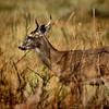 "<a href=""http://xenogere.com/tag/white-tailed-deer-odocoileus-virginianus/"" title=""Photos and videos tagged 'white-tailed deer (Odocoileus virginianus)'"">A young buck - white-tailed deer (Odocoileus virginianus)</a>"