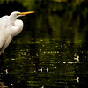 "<a href=""http://xenogere.com/tag/great-egret-ardea-alba/"" title=""Photos and videos tagged 'great egret (Ardea alba)'"">great egret (Ardea alba)</a>"