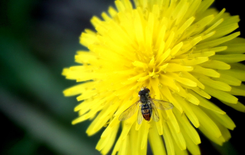Doin' the nasty on a dandelion: a mating pair of syrphid flies (a.k.a. hover flies; Toxomerus marginatus)