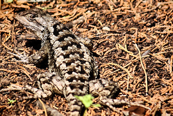 "<a href=""http://xenogere.com/tag/texas-spiny-lizard-sceloporus-olivaceus/"" title=""Photos and videos of 'Texas spiny lizard (Sceloporus olivaceus)'"">Texas spiny lizard (Sceloporus olivaceus)</a>"