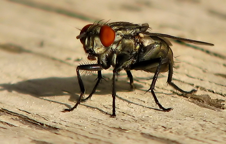 "<a href=""http://xenogere.com/tag/friendly-fly-sarcophaga-aldrichi/"" title=""Photos and videos tagged 'friendly fly (Sarcophaga aldrichi)'"">Friendly fly (a.k.a. government fly or large flesh fly; Sarcophaga aldrichi)</a>"