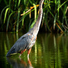 "<a href=""http://xenogere.com/tag/great-blue-heron-ardea-herodias/"" title=""Photos and videos tagged 'Great blue heron (Ardea herodias)'"">Great blue heron (Ardea herodias)</a>"