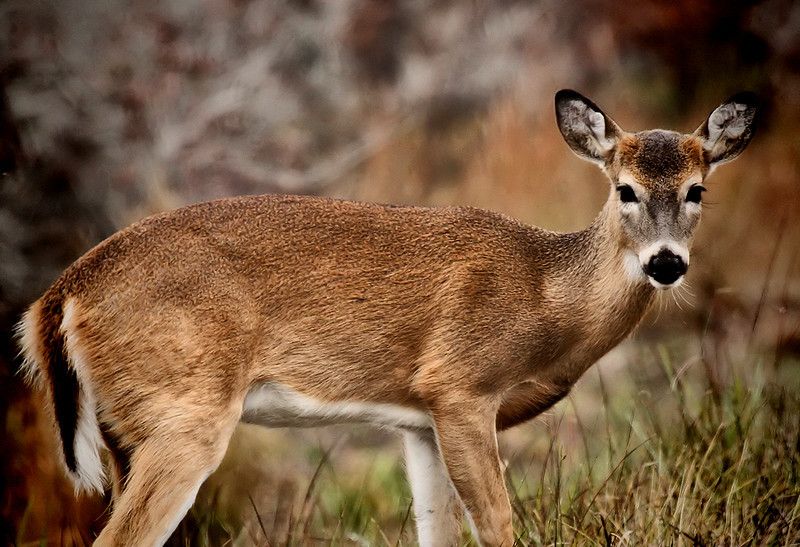"<a href=""http://xenogere.com/tag/white-tailed-deer-odocoileus-virginianus/"" title=""Photos and videos tagged 'white-tailed deer (Odocoileus virginianus)'"">A button buck - white-tailed deer (Odocoileus virginianus)</a>"