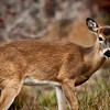 """<a href=""""http://xenogere.com/tag/white-tailed-deer-odocoileus-virginianus/"""" title=""""Photos and videos tagged 'white-tailed deer (Odocoileus virginianus)'"""">A button buck - white-tailed deer (Odocoileus virginianus)</a>"""