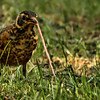 "<a href=""http://xenogere.com/tag/american-robin-turdus-migratorius/"" title=""Photos and videos of 'American robin (Turdus migratorius)'"">Juvenile American robin (Turdus migratorius)</a>"