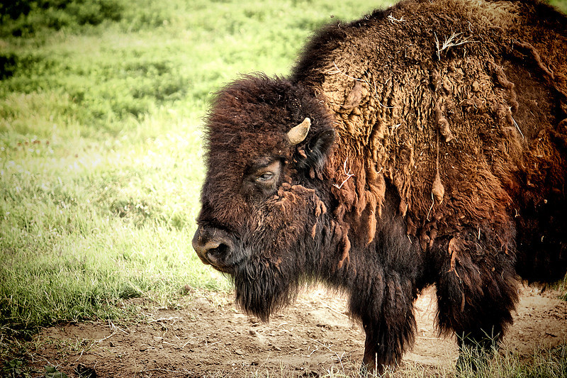 "<a href=""http://xenogere.com/tag/american-bison-bison-bison/"" title=""All photos and videos tagged 'American bison (Bison bison)'"">American bison (Bison bison)</a>"