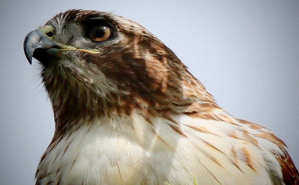 Close-up of a red-tailed hawk (Buteo jamaicensis)