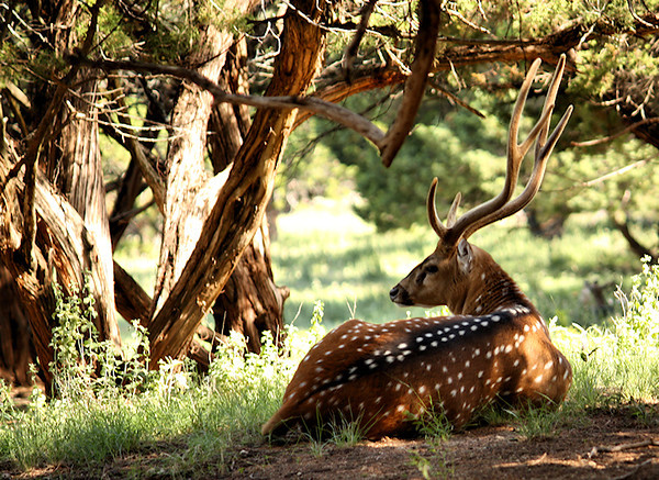 "<a href=""http://xenogere.com/tag/chital-axis-axis/"" title=""Photos and videos of 'Chital (a.k.a. cheetal, chital deer, spotted deer, or axis deer; Axis axis)'"">Chital (a.k.a. cheetal, chital deer, spotted deer, or axis deer; Axis axis)</a>"