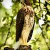 "<a href=""http://xenogere.com/tag/coopers-hawk-accipiter-cooperii/"" title=""Photos and videos tagged 'Cooper's hawk (Accipiter cooperii)'"">juvenile Cooper's hawk (Accipiter cooperii)</a>"