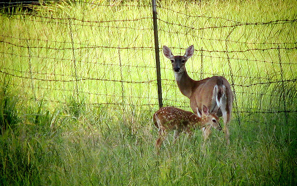 A female white-tailed deer (Odocoileus virginianus) with her fawn