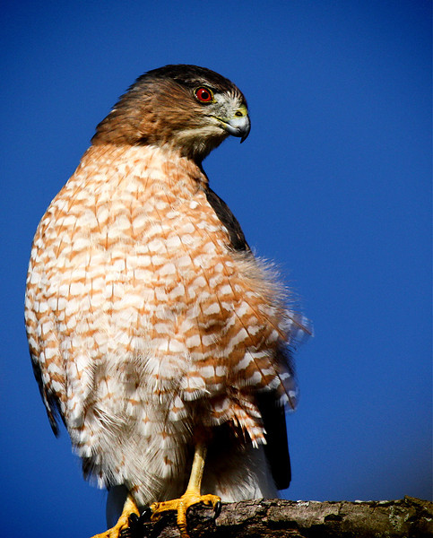 "<a href=""http://xenogere.com/tag/coopers-hawk-accipiter-cooperii/"" title=""Photos and videos tagged 'Cooper's hawk (Accipiter cooperii)'"">adult female Cooper's hawk (Accipiter cooperii)</a>"