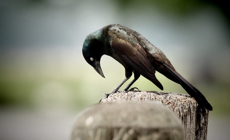 """<a href=""""http://xenogere.com/tag/common-grackle-quiscalus-quiscula/"""" title=""""Photos and videos tagged 'common grackle (Quiscalus quiscula)'"""">male common grackle (Quiscalus quiscula)</a>"""