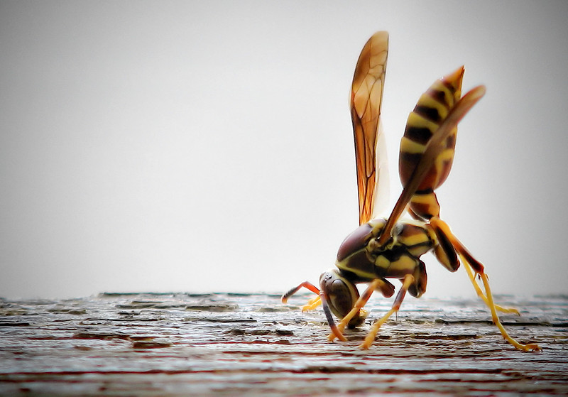 "<a href=""http://xenogere.com/tag/paper-wasps-polistes-exclamans/"" tile=""Photos and videos tagged 'paper wasp (Polistes exclamans'"">female paper wasp (a.k.a. common paper wasp or Guinea wasp; Polistes exclamans)</a>"