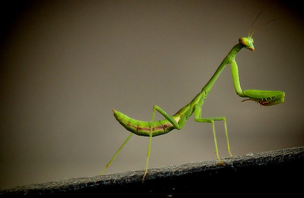 a Carolina mantis (Stagmomantis carolina) crawling along a storage barrel