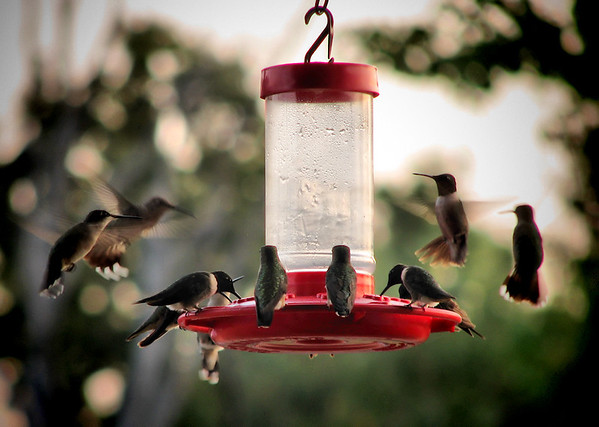 Ruby-throated hummingbirds (Archilochus colubris) mobbing a feeder
