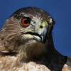 "<a href=""http://xenogere.com/tag/coopers-hawk-accipiter-cooperii/"" title=""Photos and videos tagged 'Cooper's hawk (Accipiter cooperii)'"">Cooper's hawk (Accipiter cooperii)</a>"