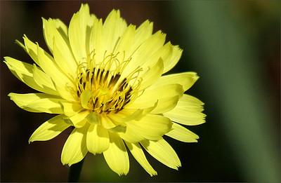 Texas dandelion (a.k.a. false dandelion, Carolina desert-chicory, leafy false dandelion or Florida dandelion; Pyrrhopappus carolinianus)