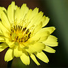 "<a href=""http://xenogere.com/tag/texas-dandelion-pyrrhopappus-carolinianus/"" title=""Photos and videos tagged 'Texas dandelion (Pyrrhopappus carolinianus)'"">Texas dandelion (a.k.a. false dandelion, Carolina desert-chicory, leafy false dandelion or Florida dandelion; Pyrrhopappus carolinianus)</a>"