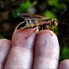 "<a href=""http://xenogere.com/tag/eastern-cicada-killer-wasp-sphecius-speciosus/"" title=""Photos and videos tagged 'Eastern cicada-killer wasp (Sphecius speciosus)'"">Eastern cicada-killer wasp (Sphecius speciosus)</a>"