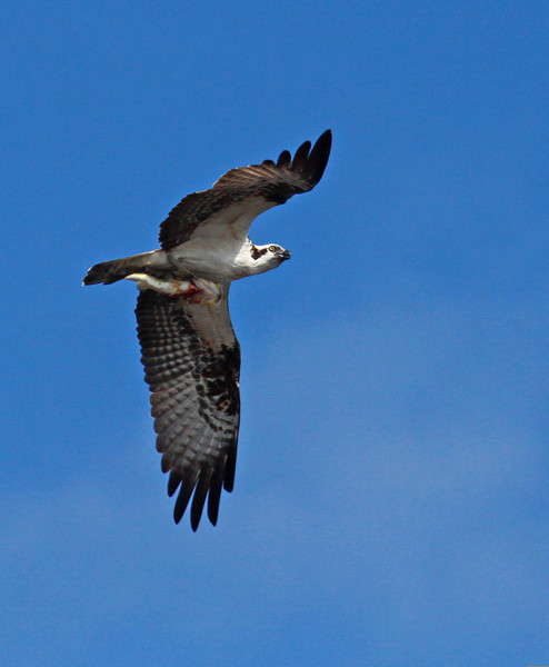 Osprey with lunch to go