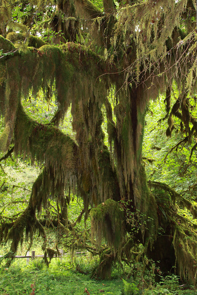 Hoh Rain Forest Mt. Olympic National Park