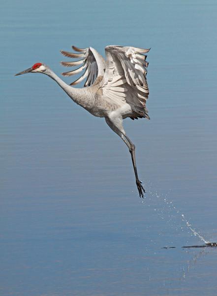 take off--Sandhill Crane