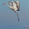 take off--Sandhill Crane