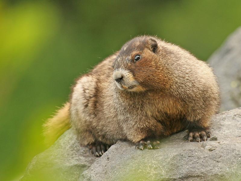 Hoary Marmot  Mt. Rainier National Park