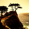 """Lone Cypress"" near Monterey, California"