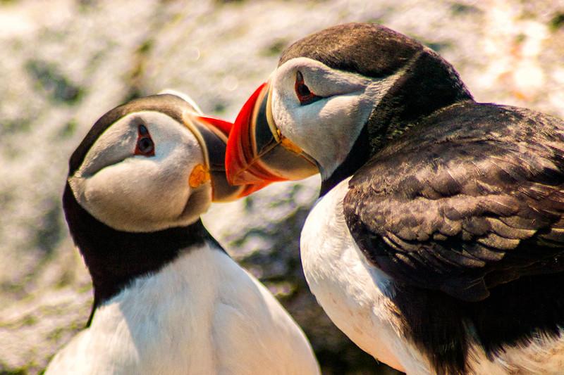 Puffen at Machias  Seal Island