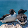 Razorbills at Machias  Seal Island