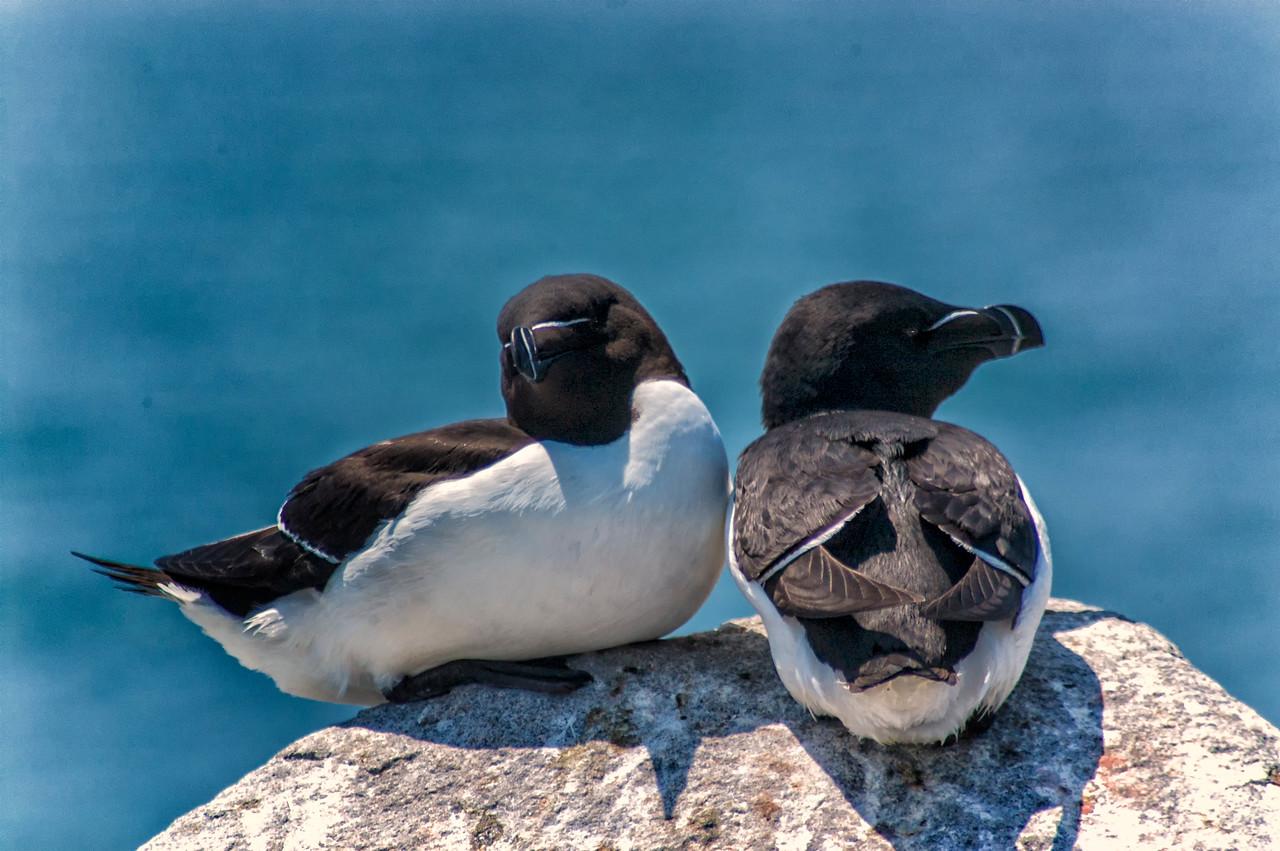 Razorbills at Machias  Seal Island