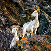 Dall Sheep, outside of Anchorage, AK in the hills