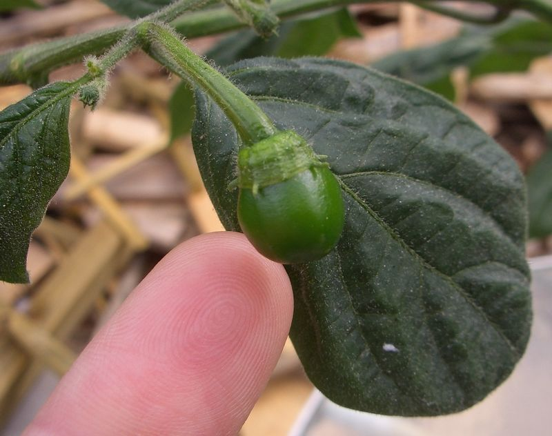 9/14/05  Very first yellow rocoto pod.