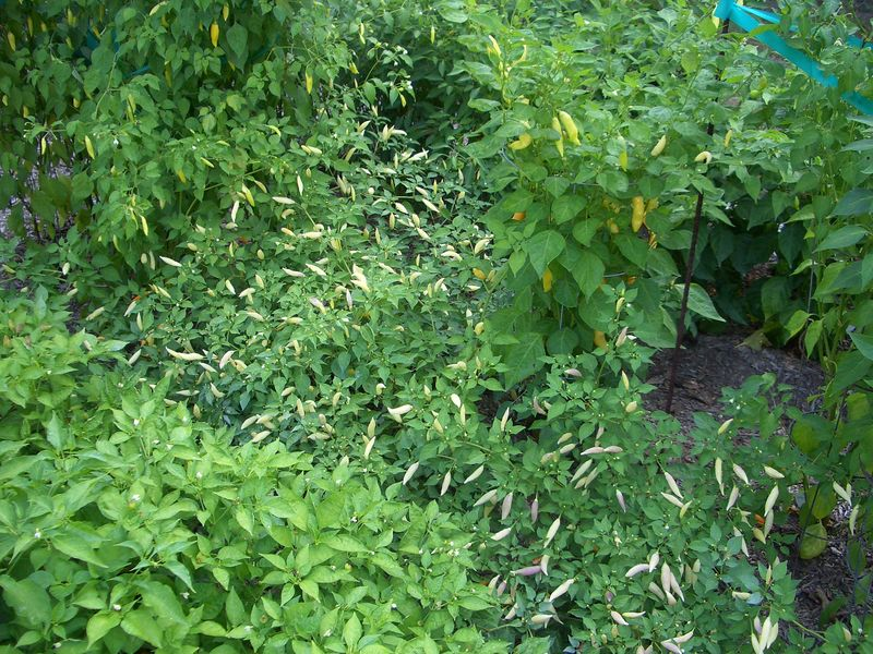 9.07.05  Aji Omnicolor in the middle flanked by Aji Habs.  In the lower left is Cumari.