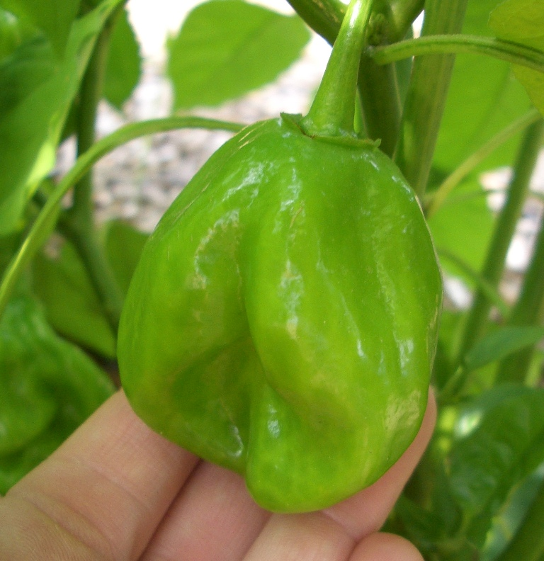 Green Francisca Habanero